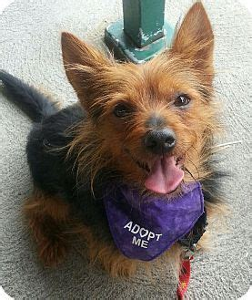 yorkie australian terrier mix 25 best ideas about terrier rescue on yorkie yorkie puppies