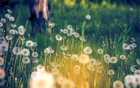 imagenes vintage naturaleza wallpapers dandelions in a field wallpapers