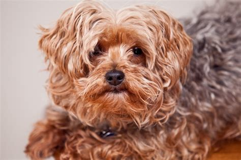 yorkies mixed with other breeds the most high energy breeds you can own page 8