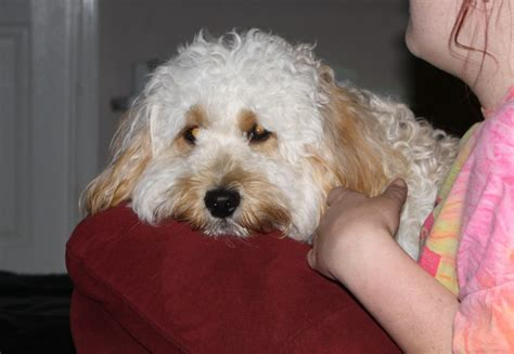 mini labradoodles maine labradoodle breeders our and gents mini and