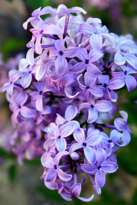 purple lilacs sunny days loving our lilacs