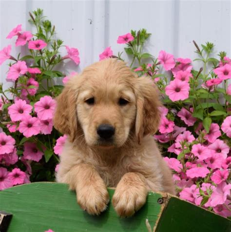 puppies for sale in michigan craigslist n friendly golden retriever pups puppy4me