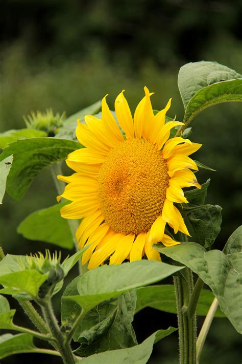 sun flower flowers and plants pinterest