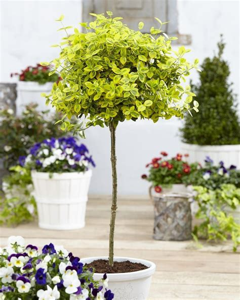 Standard Garden by Pair Of Euonymus Emerald Gold Golden Evergreen Standard Topiary Trees