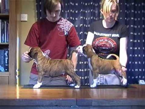 8 week boxer puppy boxer puppies 8 weeks