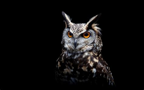 Wallpaper Black Owl | owl eyes black background wallpaper wallpapers new hd