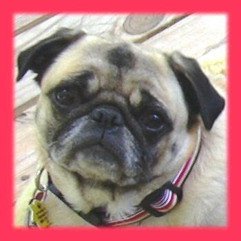 northeast pug rescue the marietta roswell pug meetup monthly meetup 11 mar 2017