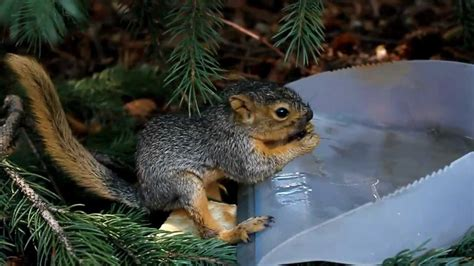 baby squirrel drinking water youtube