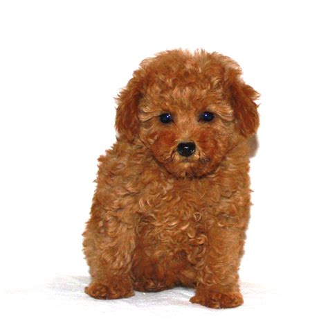 pictures of a teddy bear cut apricot standard poodle puppy cut www imgkid com the