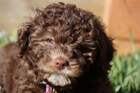 doodle puppy kopen een labradoodle in het bruin kopen