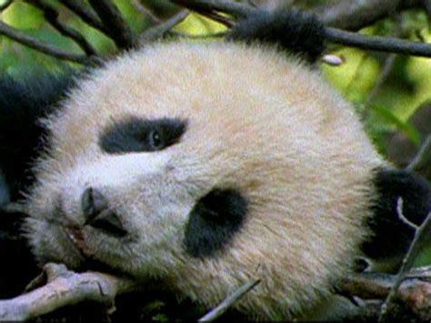 panda reintroduction national geographic society