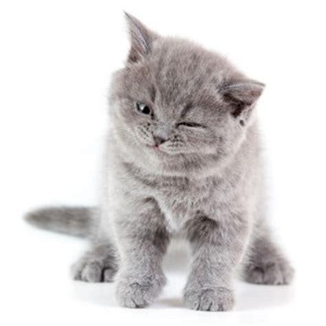 dallas adoption cat adoption services in dallas cat connection
