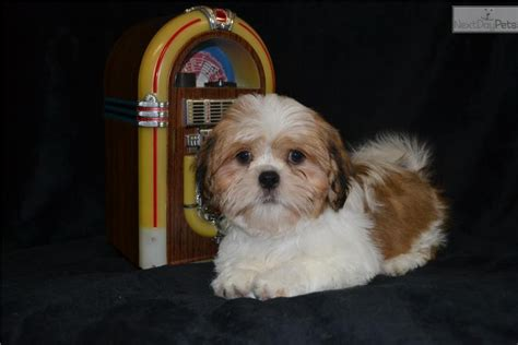 shih tzu puppies for sale near me shih tzu puppy for sale near akron canton ohio 9d0507d5 7271