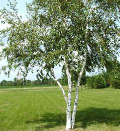 york council reveals that it is planting smaller trees on