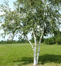 buy trees and shrubs online for less paper canoe birch