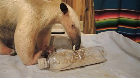 anteater tongue action enrichment youtube