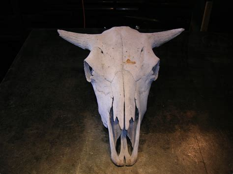 cow skull pearson metal art larry pearson polished stainless steel