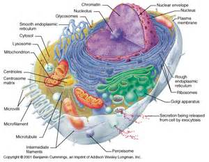 Animal cell organelle structure