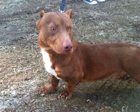 pitbull dachshund mix puppies pit bull dachshund mix is a thing of neatorama