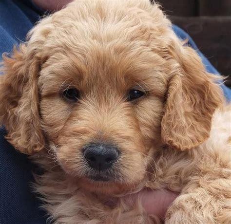 mini goldendoodles upstate ny 25 best ideas about medium goldendoodle on