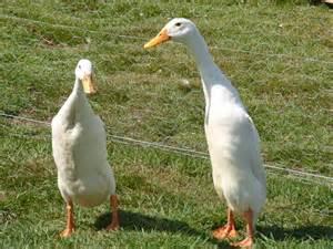 Animals world latest collections of animal runner ducks photos