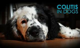 Colitis In Dogs Blood In Stool by Colitis In Dogs Causes Symptoms And Solutions Allivet