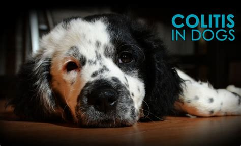 stress colitis in dogs colitis in dogs causes symptoms and solutions allivet pet care