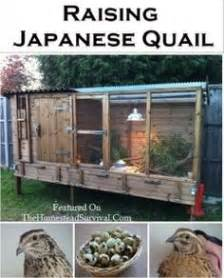 raising backyard quail raising quail on pinterest quail coop raising ducks and