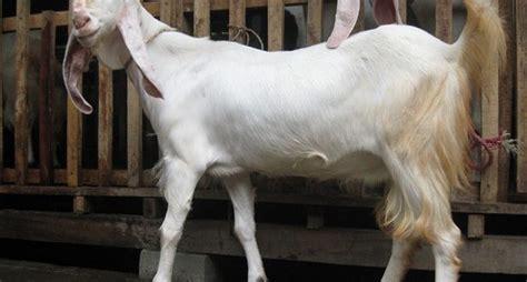 keunggulan  ciri ciri kambing etawa senduro teknologi