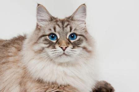siberian cat history  cat facts