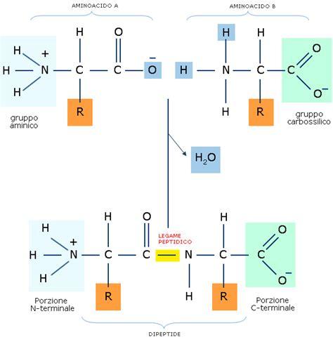 proteine e aminoacidi legame peptidico