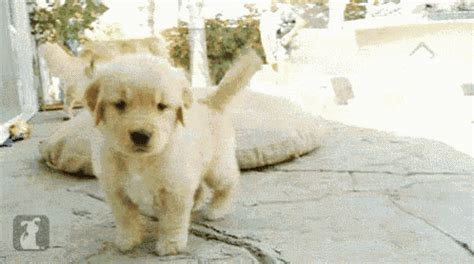 golden retriever attacks golden retriever attack gif goldenretriever attack puppy discover gifs