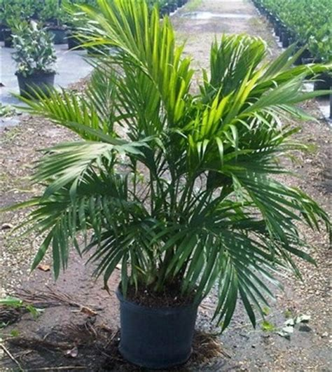 cateracterum palm 7g 14 quot