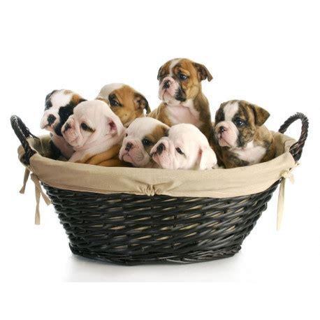 Boneka Anjing Buldog Mini 20cm stickers chien 30 races etiquette autocollant