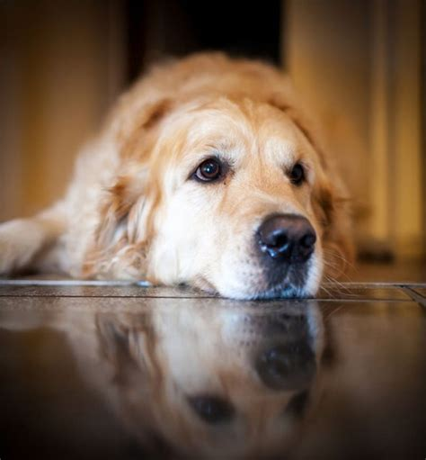 oldest golden retriever 18 things all golden retriever owners must never forget