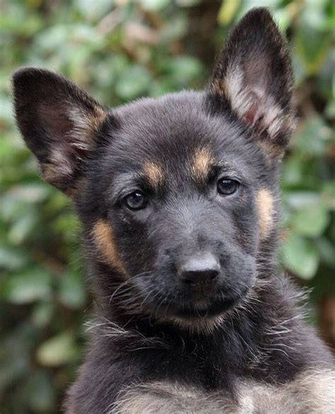 7 week german shepherd puppy 185 best images about canines on