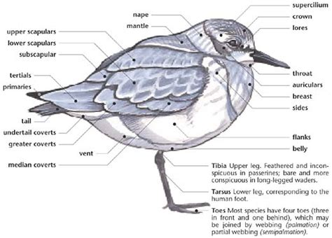 seagull diagram swartzentrover external anatomy of a bird