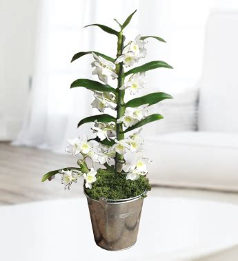 care of orchids after flowering care for dendrobium orchids flower press