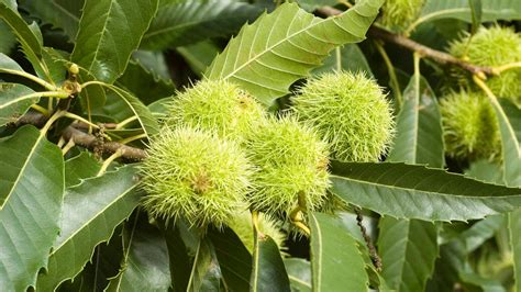Bowl Of Fruits castanea sativa mill plants of the world online kew