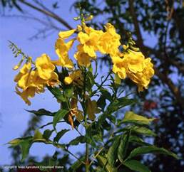 yellow bells esperanza tecoma stans texas mexico