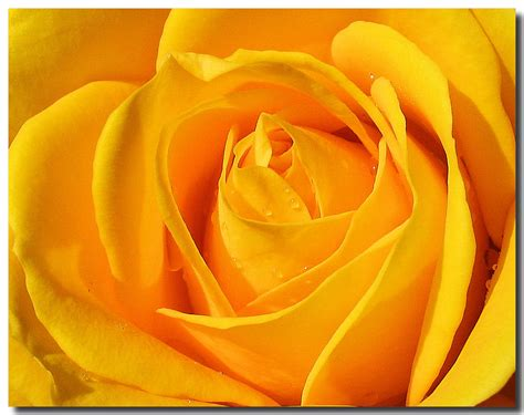 free wallpaper yellow roses yellow rose flowers wallpapers top quality wallpapers