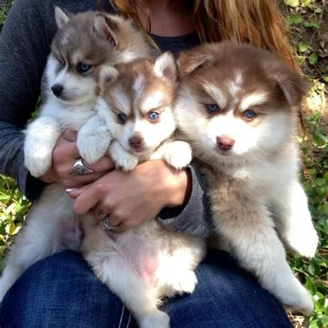 pomeranian husky for sale australia best 25 pomsky for sale ideas on pomsky for sale pomsky puppies for