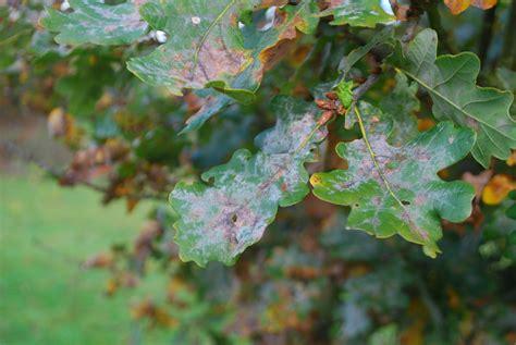 oak tree diseases bing images
