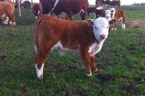 Bull Barn Genetics Mini Cows