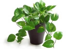 Trellis Wiki Ever Wondered Why We Call This Plant As Money Plant