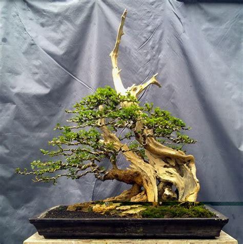 Bakalan Bonsai Sisir bonsai jombang gallery bonsai gubuk