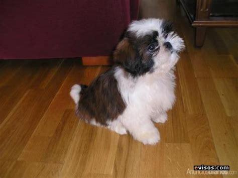 fotos de perros shih tzu cachorros cachorro shil tzu diario animales