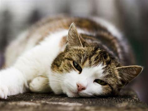 wann katzen impfen fibrosarkom bei katzen ursachen des b 246 sartigen tumors