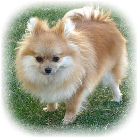 colors of pomeranians pomeranian color changes