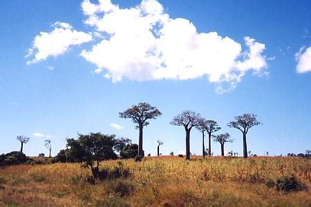le baobab fou le baobab fou